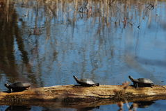 Three turtles Royalty Free Stock Image