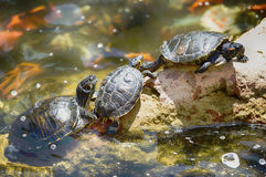 Three turtles Royalty Free Stock Photos