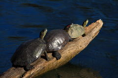 Three turtles on log Stock Photo