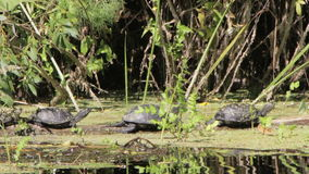 Three Turtles on a Log in the River. Turtle sitting on a log in summer near the banks of the river and the green vegetation surrounding them. Full HD 1920 x stock video footage