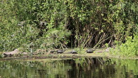 Three Turtles on a Log in the River. Turtle sitting on a log in summer near the banks of the river and the green vegetation surrounding them. Full HD 1920 x stock video