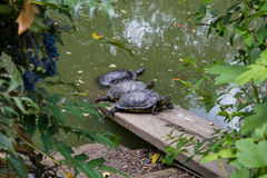 Three turtles in a pond Stock Photos