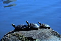 Three turtles on the rock Royalty Free Stock Image