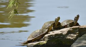 Three Turtles on a Rock Stock Images