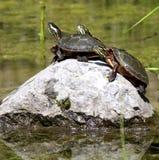 Three turtles Stock Photography