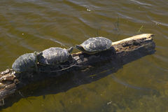 Three turtles sitting on a log in Agua Canyon in Tucson, AZ Stock Photo