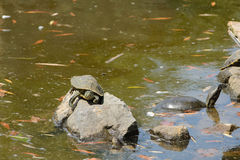 Three turtles on the stone in the pond Royalty Free Stock Image
