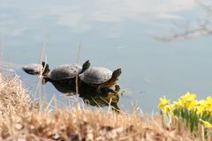 Three Turtles Sunning 2019 II. These turtles enjoy the warmth of the sun in late March in a St. Louis, Missouri, USA Park Forest Park-Muny Opera House Lake. You stock image
