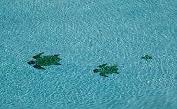 Three turtles in swimming pool Royalty Free Stock Image
