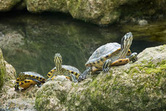 Three turtles yellow ears Royalty Free Stock Image
