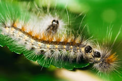 Three tussock moth caterpillars on mulberry leaf Royalty Free Stock Image