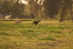 Three two dogs running fast outdoors Royalty Free Stock Image