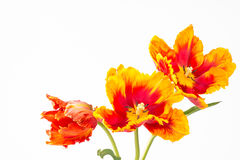 Three two-toned parrot tulips Stock Photo