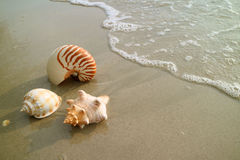 Three types of natural seashells on the sand beach approaching by wave bubbles Royalty Free Stock Photo