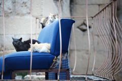 Three undomesticated cats on a blue abandoned arm-chair Royalty Free Stock Photos