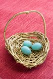 Three Unhatched Eastern Bluebird Eggs in a Decorative Basket Royalty Free Stock Image