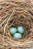 Three Unhatched Eastern Bluebird Eggs in Straw Nest Royalty Free Stock Photography