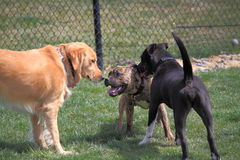 Dogs Playing in Dog Park. Three unleashed dogs Playing in Dog Park for stress relieving, exercise, and social Royalty Free Stock Photography