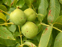 Three unripe walnuts on a branch Royalty Free Stock Photo