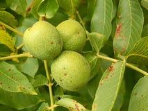 Three unripe walnuts on a branch Royalty Free Stock Photo