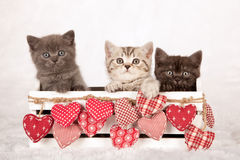 Three Valentine kittens sitting inside a white container decorated with fabric hearts. Three very cute kittens sitting inside white wooden box decorated with Royalty Free Stock Image