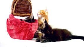 Three Valentine Maine Coon kittens sitting at stock footage