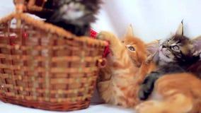 Three Valentine Maine Coon kittens sitting at stock video