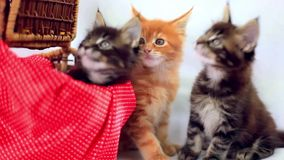 Three Valentine Maine Coon kittens sitting at stock video footage