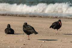 Three variable oystercatchers. Resting on beach royalty free stock photography