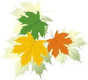 Three varicolored maple leaves Royalty Free Stock Photos