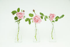 Three vases with beautiful cutted roses Royalty Free Stock Photography
