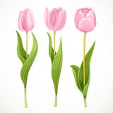 Three vector pink flowers tulips Stock Images