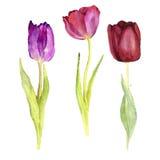 Three vector watercolor tulips Stock Photos