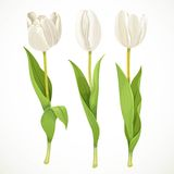 Three vector white flowers tulips Stock Photography