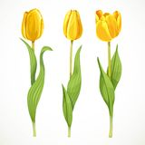Three vector yellow flowers tulips Stock Photos