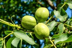 Three verdant green walnuts growing in the garden royalty free stock image