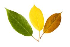 Three vibrant leaves of bird cherry tree royalty free stock photos
