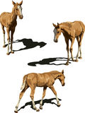 Three views of foal with shadows Royalty Free Stock Images