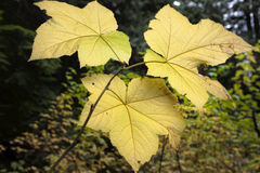 Three vine maple leaves. Stock Photos