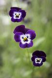 Three viola faces with shallow depth of field Stock Photos