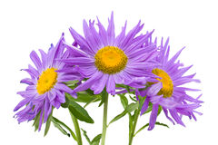 Three violet asters Royalty Free Stock Images