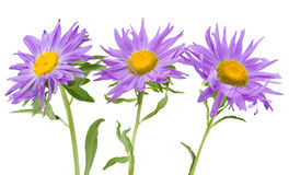 Three violet asters isolated Royalty Free Stock Photography