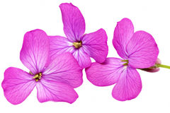 Three  violet flowers.Closeup on white background. Isolated . Royalty Free Stock Photos