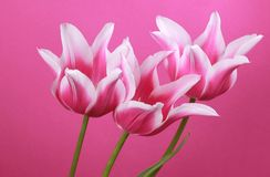 Three violet tulips Royalty Free Stock Photos