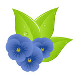 Three violets Royalty Free Stock Image