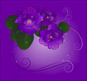 Three violets. Three purple violets with green leaves shine transparent dew drops on a light purple background Stock Photo