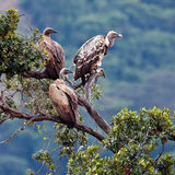 Three vulture sitting on top of an acacia tree. Trans Mara Game Reserve, Kenya Stock Photography