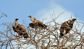Three vultures. Sitting in the treetop stock photography
