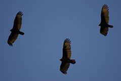 Three vultures. Three turkey vultures soaring over Illinois in early spring Royalty Free Stock Photo