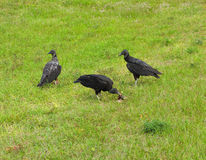 Three vultures in florida Royalty Free Stock Photos